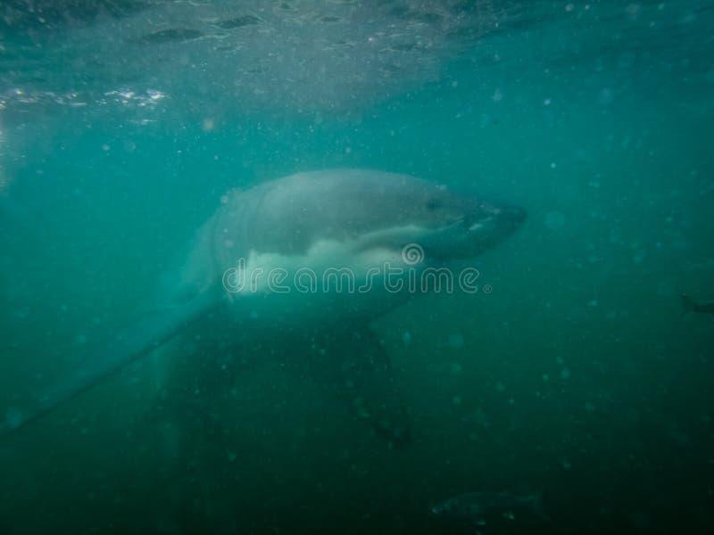 O grande tubarão branco examina o mergulhador na gaiola na baía de Ganis fotos de stock royalty free