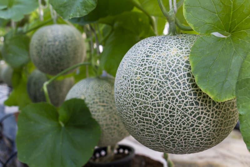 O grande verde fresco do melão ou do cantalupo está crescendo na estufa, fotografia de stock royalty free