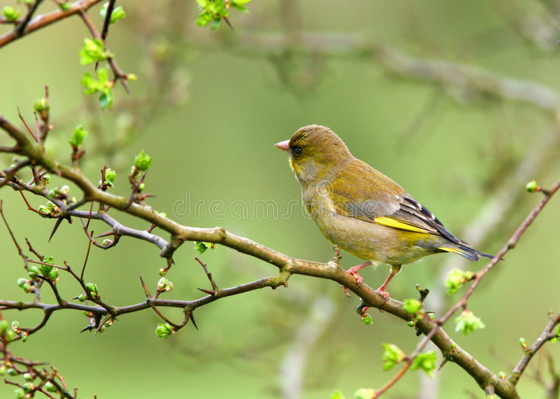 O Greenfinch fotos de stock royalty free