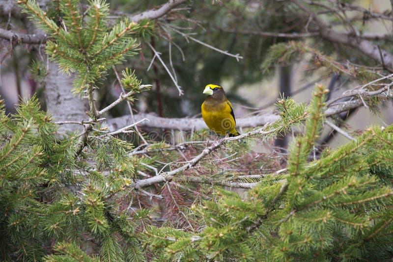 O grosbeak de nivelamento masculino visto empoleirou-se em um ramo de árvore conífera fotos de stock