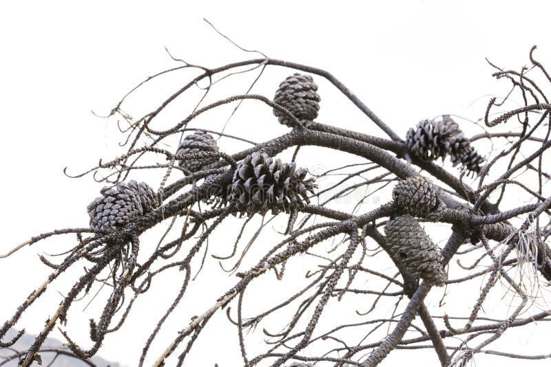 O grupo de abacaxis queimou-se nos ramos dos pinhos fotografia de stock