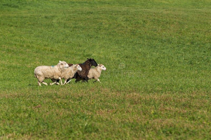 O grupo de aries do Ovis dos carneiros corre certo no campo foto de stock royalty free