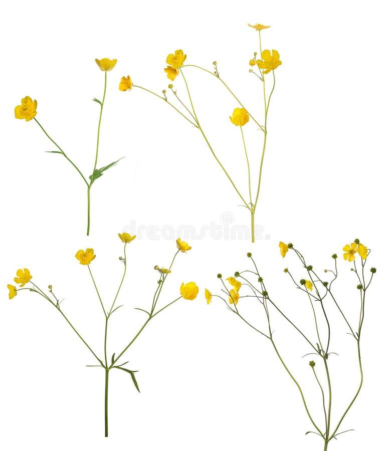 O grupo de botão de ouro dourado selvagem floresce no branco foto de stock