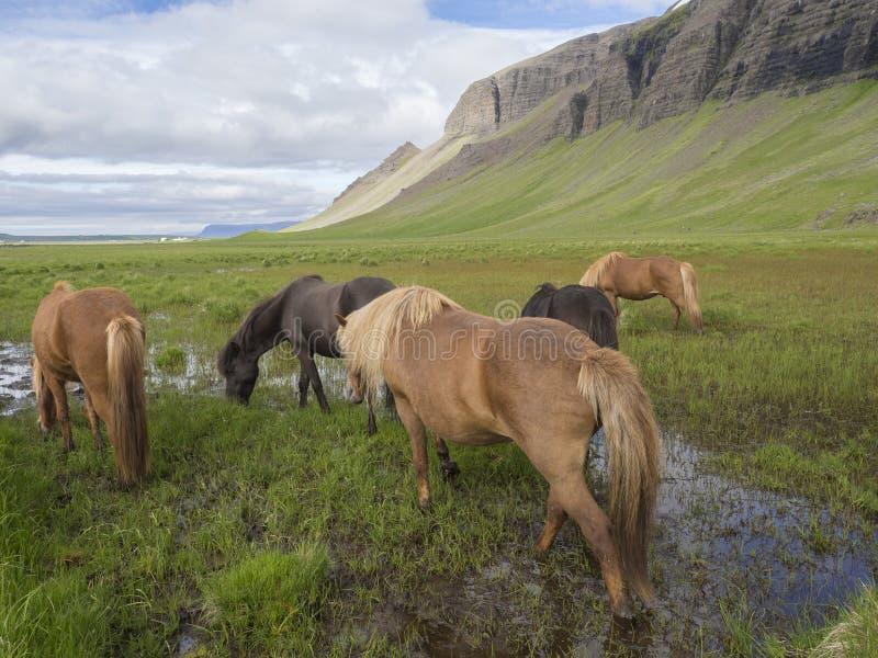 O grupo de cavalos islandêses que pastam em um campo de grama verde com poças da água, montes e o céu azul nubla-se o fundo, no v imagens de stock royalty free