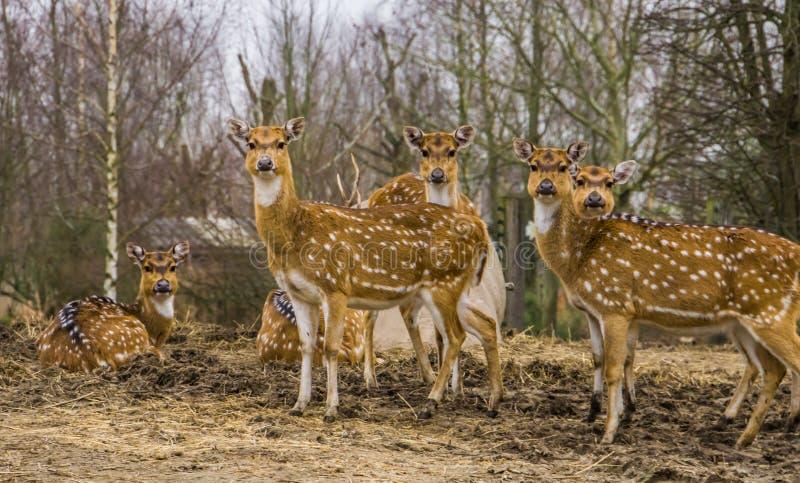 O grupo de cervos fêmeas da linha central, manchou a família dos cervos que está junto, fá-la da Índia e da América fotografia de stock royalty free