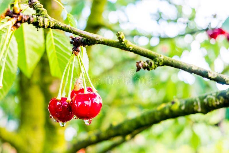 O grupo de convidar cerejas vermelhas na árvore com chuva deixa cair no por do sol foto de stock