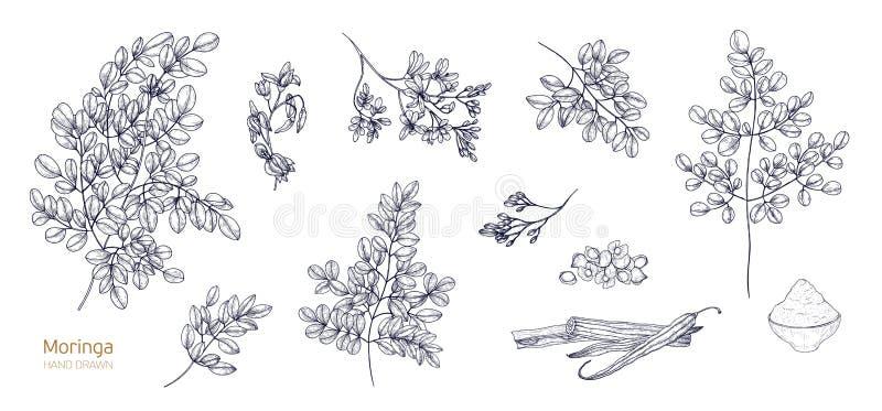 O grupo de desenhos botânicos detalhados da moringa oleifera sae, flores, sementes, frutos Pacote de partes da planta tropical ilustração royalty free