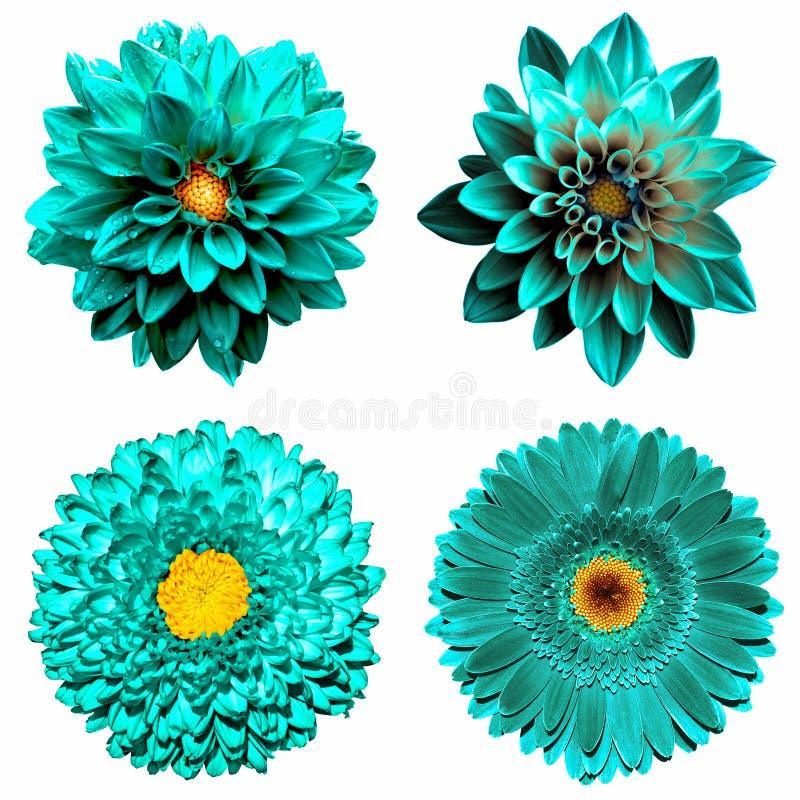 O grupo de 4 em 1 turquesa surreal floresce: flores do crisântemo, do gerbera e do dahila isoladas foto de stock royalty free
