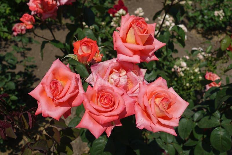 O grupo de flores do rosa salmon de aumentou fotografia de stock royalty free