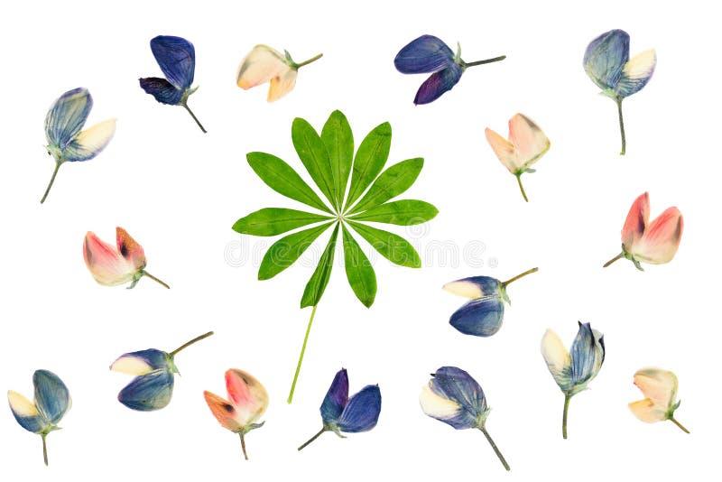 O grupo de flores pressionadas e secadas e de verde sae do isolado do lupine imagens de stock
