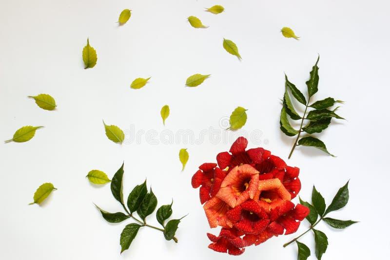 O grupo de flores vermelhas pequenas com verde sae em um fundo branco fotografia de stock royalty free