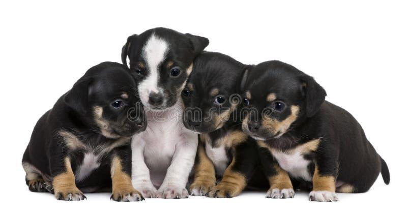O grupo de misturado-produz os filhotes de cachorro, 1 mês velhos fotografia de stock royalty free