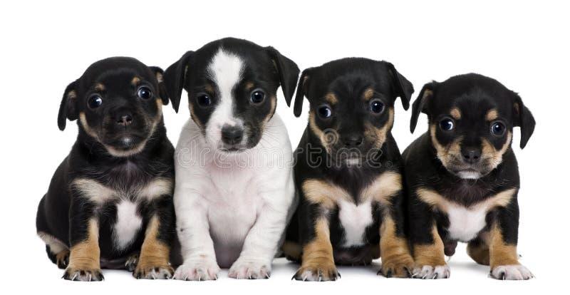O grupo de misturado-produz os filhotes de cachorro, 1 mês velhos imagem de stock