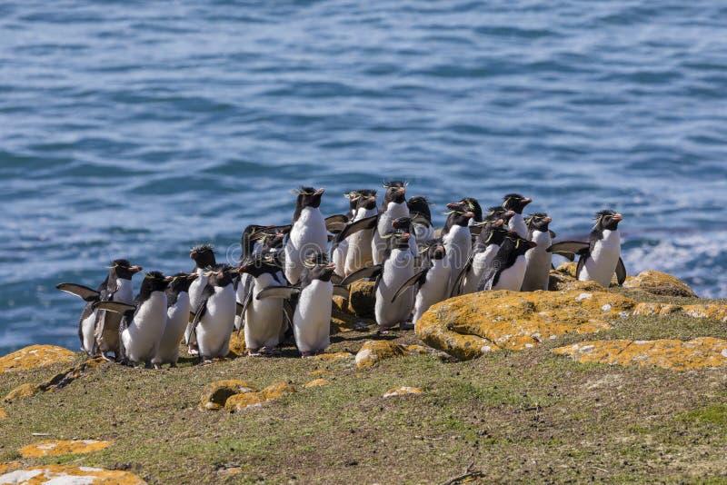 O grupo de pinguins do rockhopper anda acima do monte a sua colônia na ilha de Saunders, Falkland Islands fotos de stock royalty free