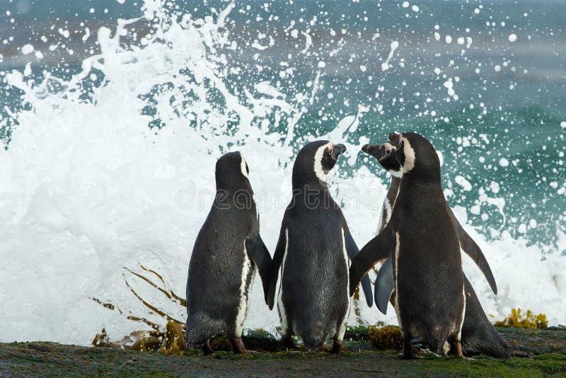 O grupo de pinguins de Magellanic recolhe junto na costa rochosa fotos de stock royalty free