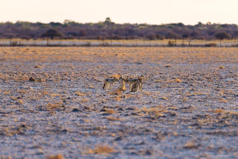 O grupo de preto suportou chacais na bandeja do deserto no por do sol Parque nacional de Etosha, o destino principal do curso em  imagem de stock