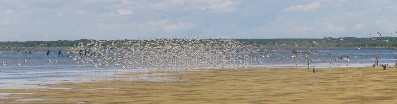 O grupo de Sanderling em Lagoa faz Peixe imagens de stock
