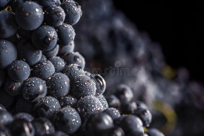O grupo de uva escuro na luminosidade reduzida no fundo preto, tiro macro, água deixa cair fotografia de stock royalty free