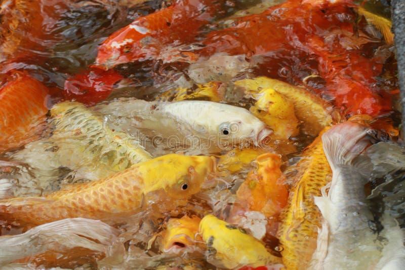O grupo do close-up de peixes coloridos do excremento na vista superior pond no parque nacional, multidão da nadada animal da vid foto de stock