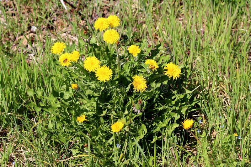 O grupo do dente-de-leão ou do Taraxacum fechou-se e as flores amarelas de florescência abertas cercadas com folhas verdes e gram fotos de stock