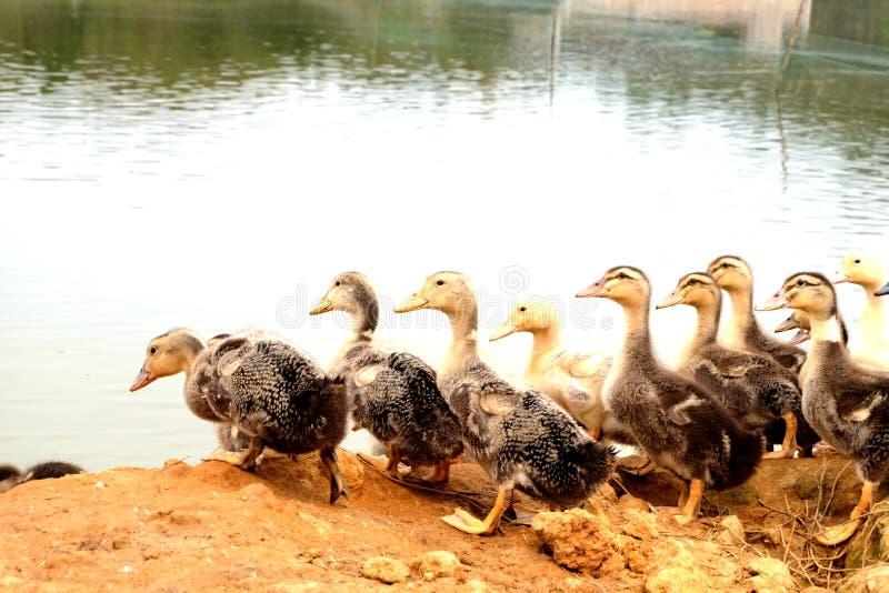 O grupo do pato no lado da lagoa imagens de stock royalty free