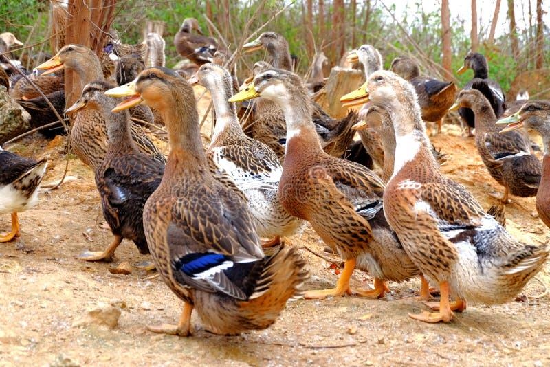 O grupo do pato no lado da lagoa foto de stock royalty free