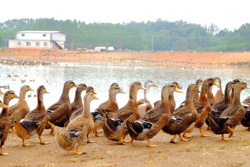 O grupo do pato no lado da lagoa fotografia de stock royalty free