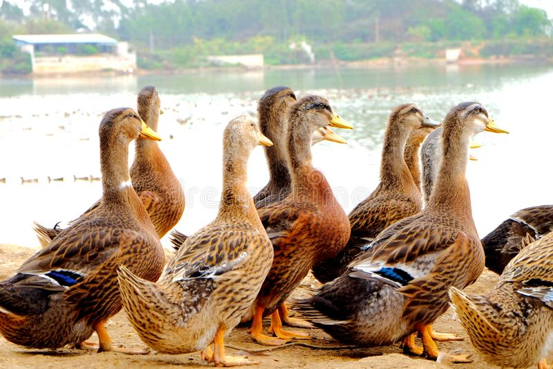 O grupo do pato no lado da lagoa foto de stock