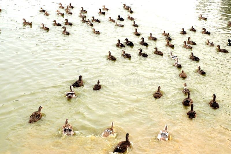 O grupo do pato no lado da lagoa fotos de stock