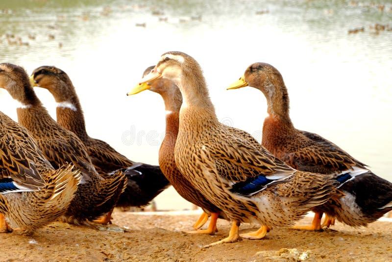 O grupo do pato no lado da lagoa imagem de stock