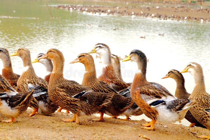 O grupo do pato no lado da lagoa imagens de stock
