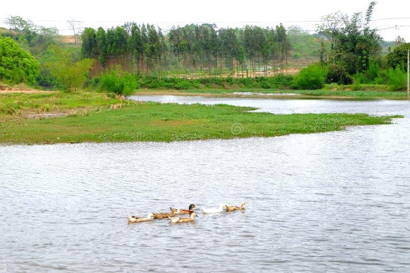 O grupo do pato no lado da lagoa fotografia de stock