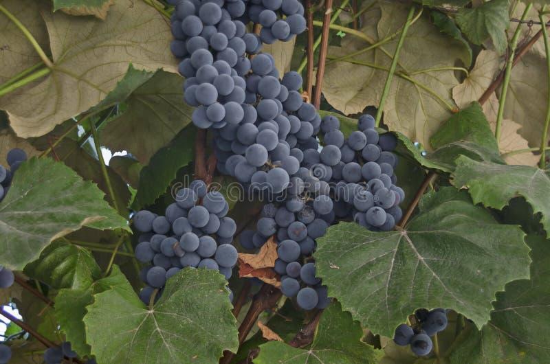 O grupo fresco de uvas pretas maduras frutifica na videira para o vinho imagem de stock