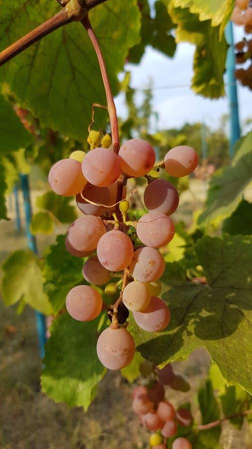 O grupo maduro cor-de-rosa da uva está pendurando na vinha Grupo de bagas roxas redondas com a casca do resíduo metálico no fundo imagem de stock
