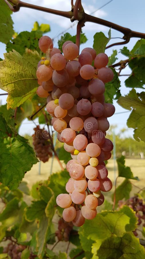 O grupo maduro suculento da uva está pendurando na videira Grupo enorme de bagas rosados redondas com o close up da superfície da imagens de stock royalty free