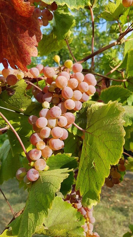 O grupo maduro suculento da uva está pendurando na videira entre a folha vermelha e a folha verde da vinha Grupo enorme de bagas  fotografia de stock