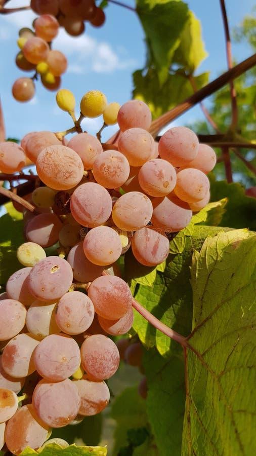 O grupo maduro suculento da uva está pendurando na videira perto da parte traseira verde grande da folha da vinha Grupo enorme de fotografia de stock royalty free