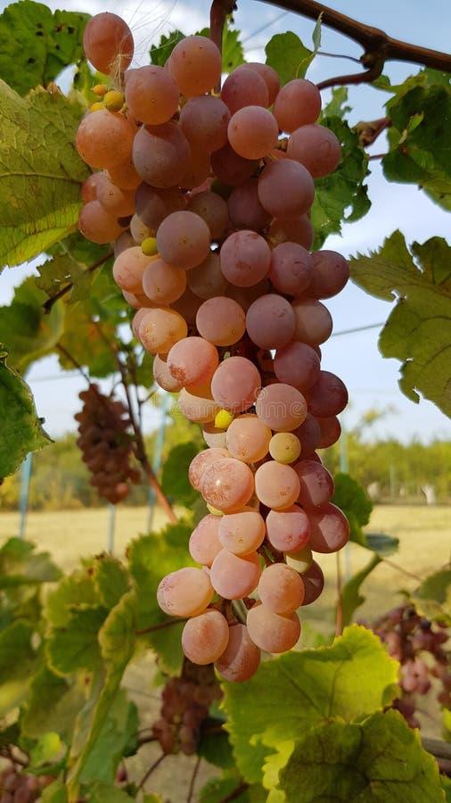 O grupo roxo cor-de-rosa brilhante da uva está pendurando na videira entre a folha verde luxúria Grupo enorme de bagas redondas c foto de stock