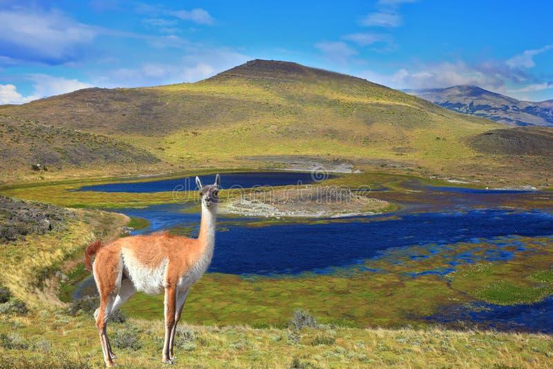 O guanaco encantador na costa foto de stock royalty free