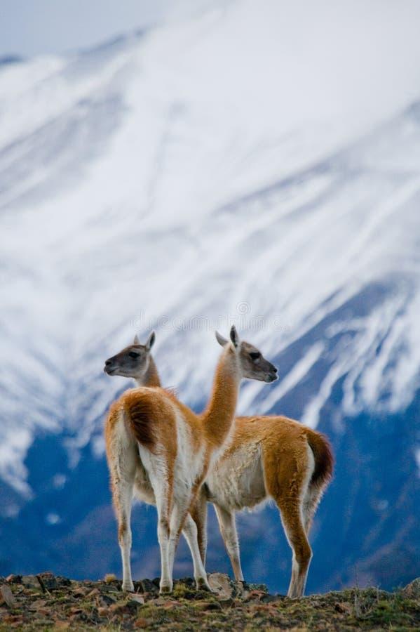 O Guanaco está na crista do contexto da montanha de picos nevado Torres Del Paine chile imagem de stock royalty free