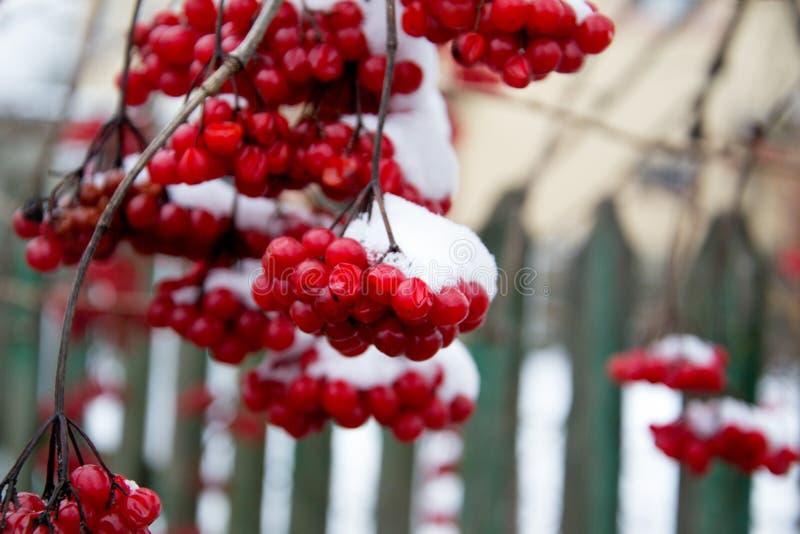 O guelder vermelho da borla aumentou Madeira de seta ucraniana do viburnum do símbolo Bagas do Viburnum exteriores Ramo do viburn imagens de stock royalty free