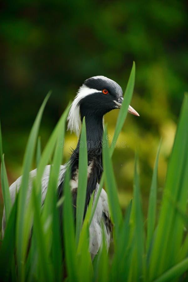 O guindaste do Demoiselle, virgo de Anthropoides, pássaro hiden na grama perto da água Retrato do detalhe do guindaste bonito Pás foto de stock royalty free