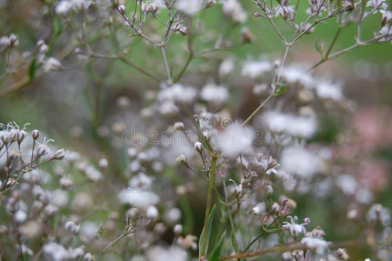 O Gypsophila, respiração do ` s do bebê floresce, backgroun borrado DOF raso fotos de stock