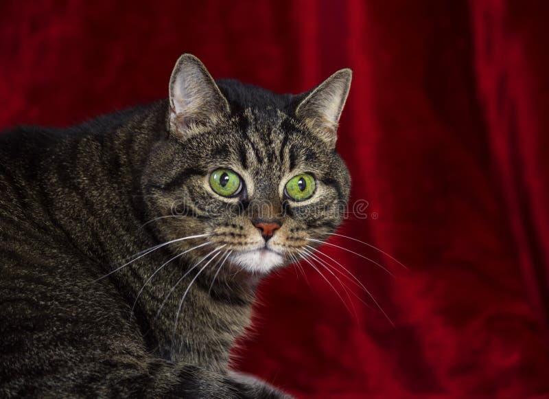 O híbrido grosso listrou o gato que reclina em um tapete vermelho imagem de stock