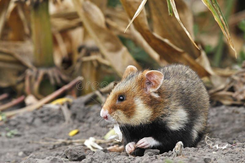 O hamster do campo come imagem de stock royalty free
