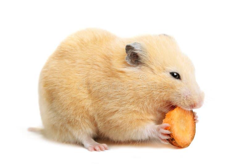 O hamster engraçado come fotografia de stock royalty free