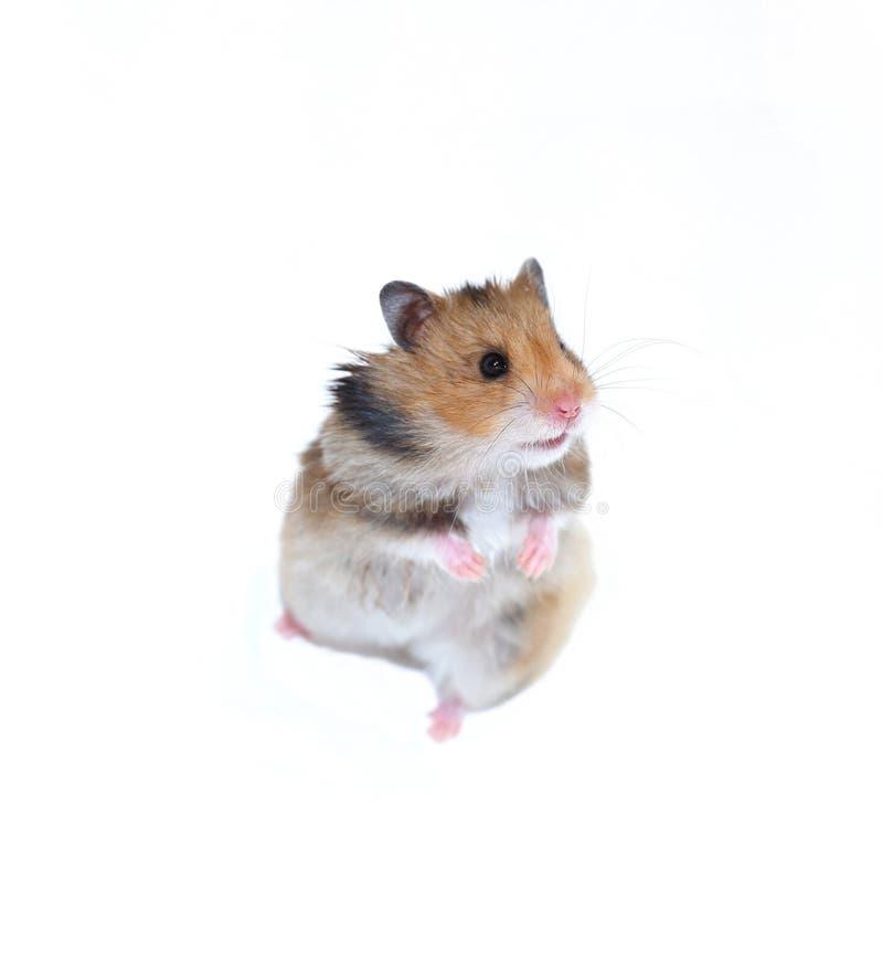 O hamster sírio de Brown está em seus pés traseiros isolados imagem de stock