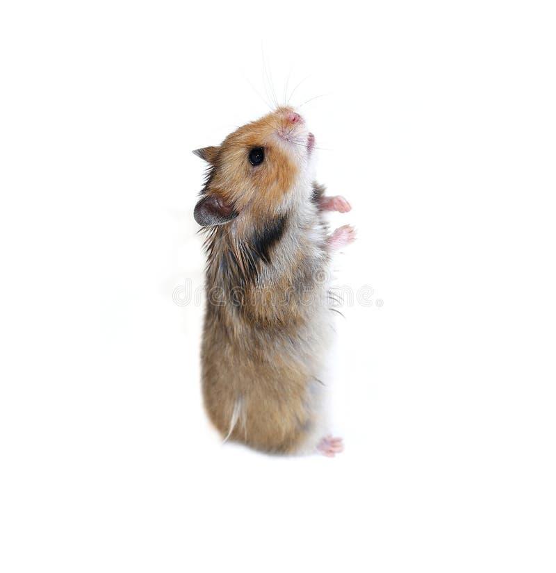 O hamster sírio de Brown está em suas patas traseiros isoladas fotografia de stock royalty free