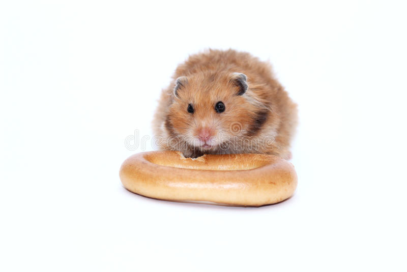 O hamster sírio de Brown rói o bagel delicioso imagens de stock royalty free
