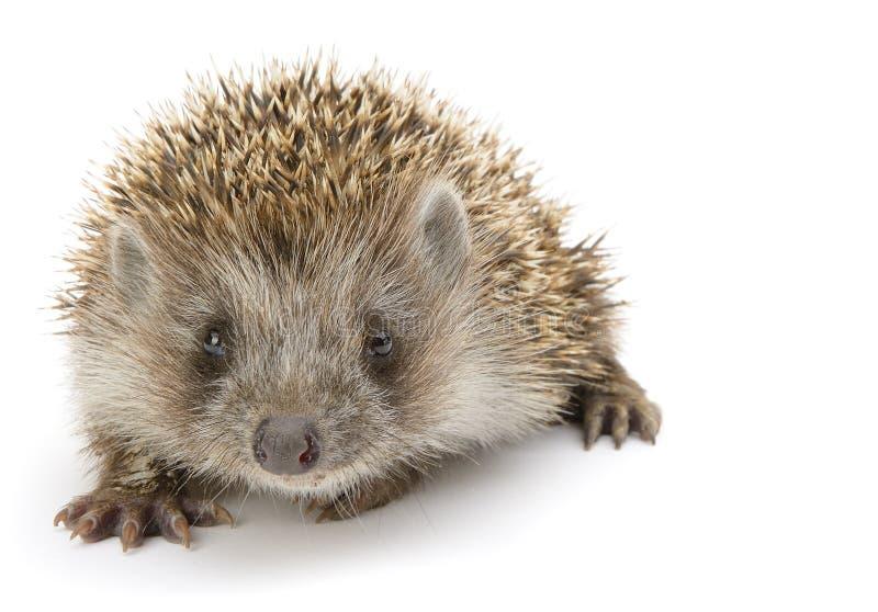 O Hedgehog isolou-se imagens de stock